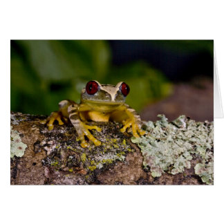 African Red Eye Treefrog Leptopelis 2 Card