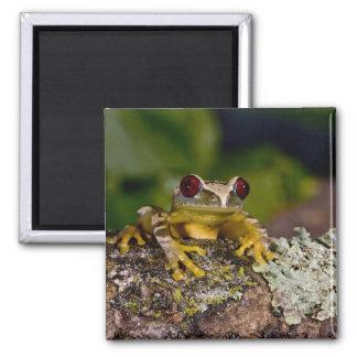 African Red Eye Treefrog Leptopelis 2 Magnets