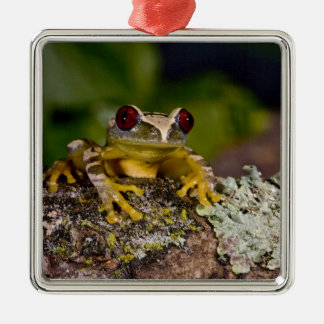 African Red Eye Treefrog Leptopelis 2 Ornaments