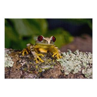 African Red Eye Treefrog, Leptopelis 2 Photo Print