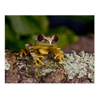 African Red Eye Treefrog Leptopelis 2 Post Card
