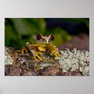 African Red Eye Treefrog Leptopelis 2 Poster