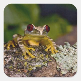 African Red Eye Treefrog Leptopelis 2 Square Sticker