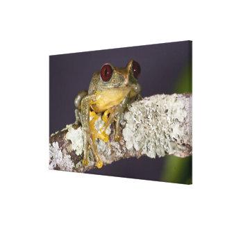 African Red Eye Treefrog Leptopelis Canvas Prints