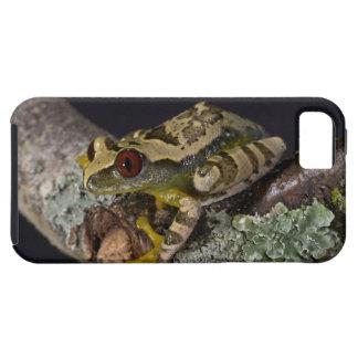 African Red Eye Treefrog, Leptopelis iPhone 5 Cover