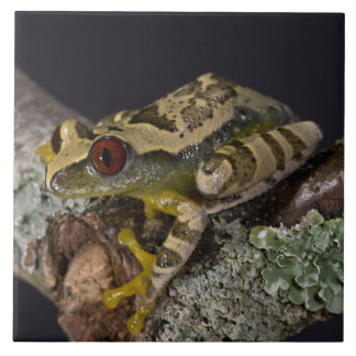 African Red Eye Treefrog, Leptopelis Ceramic Tile