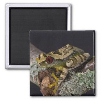 African Red Eye Treefrog Leptopelis Magnets
