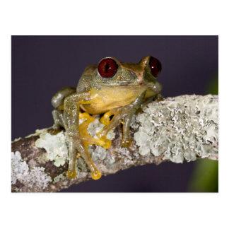 African Red Eye Treefrog Leptopelis Post Card