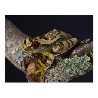 African Red Eye Treefrog Leptopelis Post Cards