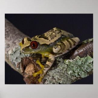 African Red Eye Treefrog Leptopelis Poster