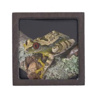 African Red Eye Treefrog Leptopelis Premium Gift Box