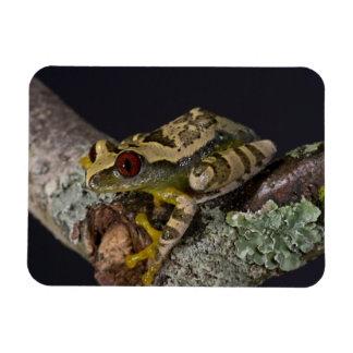 African Red Eye Treefrog Leptopelis Flexible Magnets
