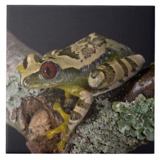 African Red Eye Treefrog, Leptopelis Large Square Tile