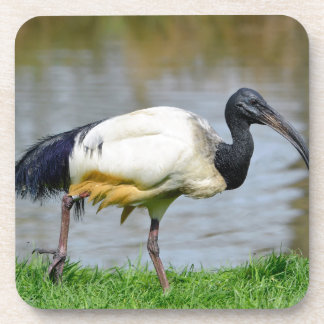 African sacred ibis walking on grass drink coaster