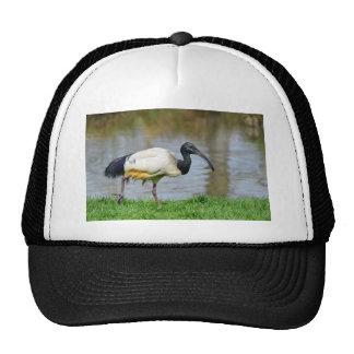 African sacred ibis walking on grass trucker hat