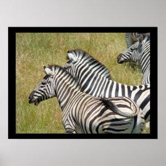 African Safari Wildlife art print Zebras