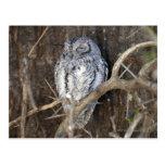 African Scops-Owl, Kruger National Park, South Post Cards