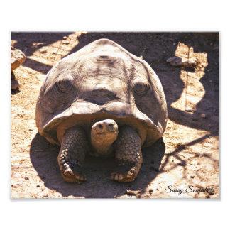 African Spurred Tortoise 10x8 Art Photo