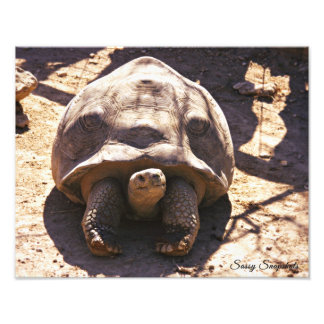 African Spurred Tortoise 14x11 Photographic Print