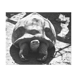 African Spurred Tortoise 20x16 Canvas Print