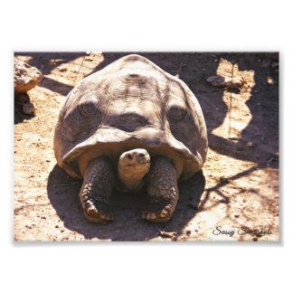 African Spurred Tortoise 7x5 Art Photo