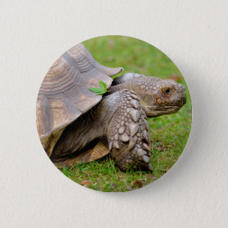 African spurred tortoise on grass button