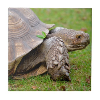 African spurred tortoise on grass ceramic tile