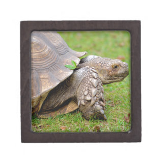 African spurred tortoise on grass gift box