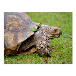 African spurred tortoise on grass postcard