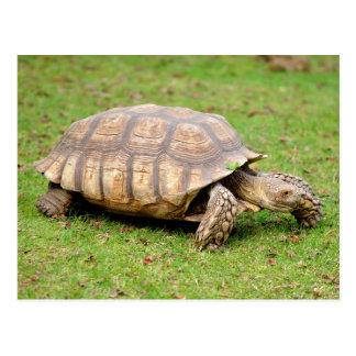 African spurred tortoise on grass postcard