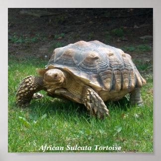African Sulcata Tortoise Poster
