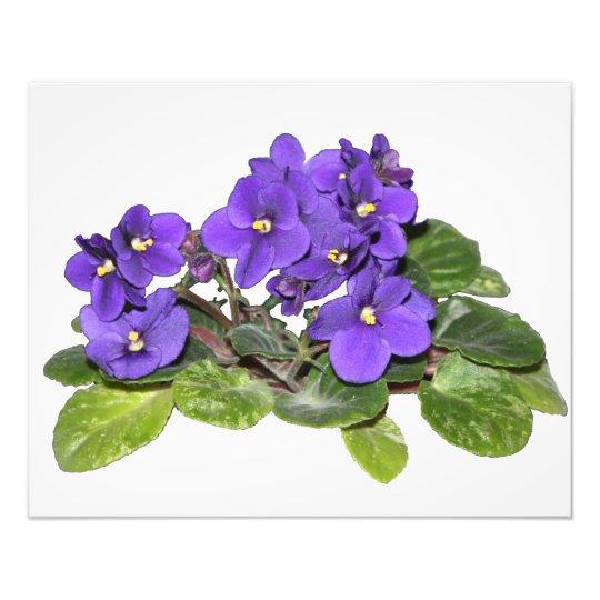 African violet photo print