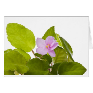 african violet - saintpaulia ionantha card