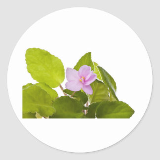 african violet - saintpaulia ionantha classic round sticker