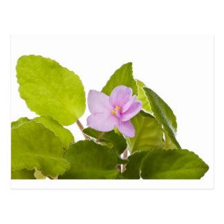 african violet - saintpaulia ionantha postcard