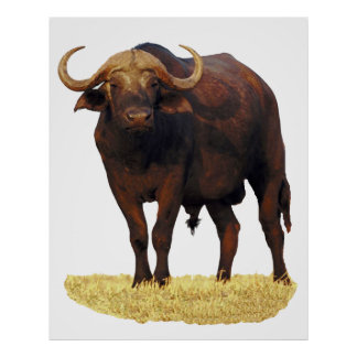 African Water Buffalo Poster 32 x 40""