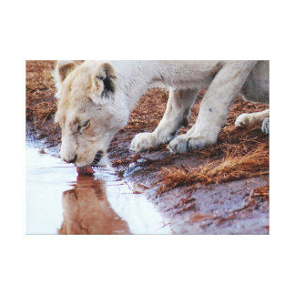 African White Lion Reflection Canvas Print