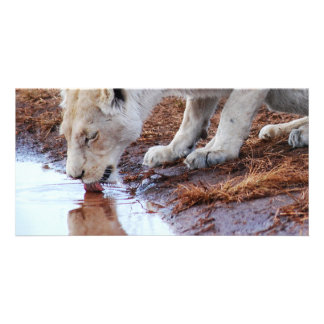 African White Lion Reflection Card