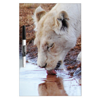 African white lion reflection Dry-Erase board