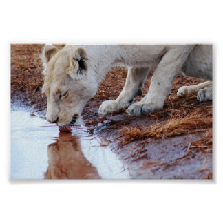 African White Lion Reflection Poster