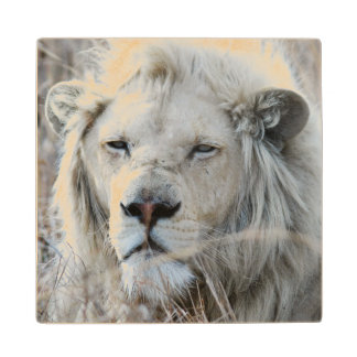 African white lion resting maple wood coaster