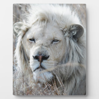 African white lion resting plaque