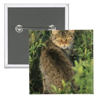 African Wild Cat, Felis libyca), ancestor of Pins