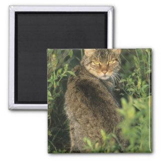 African Wild Cat, Felis libyca), ancestor of Magnet