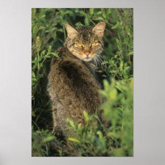 African Wild Cat, Felis libyca), ancestor of Poster