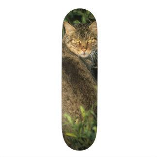 African Wild Cat, Felis libyca), ancestor of Skateboard
