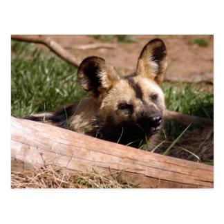 african-wild-dog-012 post card