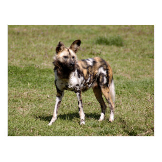 african-wild-dog-015 postcard