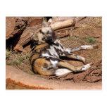 african-wild-dog-019 postales