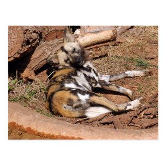 african-wild-dog-019 postcard